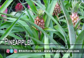 آموزش کاشت آناناس در منزل با روشی آسان (دوبله اختصاصی)