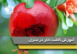آموزش کاشت انار